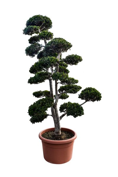 bonsai arbre fruitier amazing futurs bonsas jeunes plants agrandir luimage with bonsai arbre. Black Bedroom Furniture Sets. Home Design Ideas